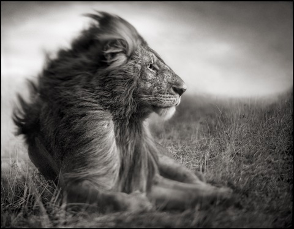 lion before storm ii - sitting profile, maasai mara by nick brandt