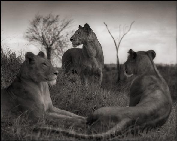 lion circle, serengeti by nick brandt