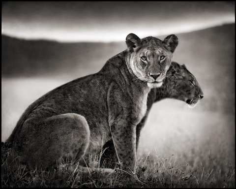 sitting lionesses, serengeti, 2002 by nick brandt