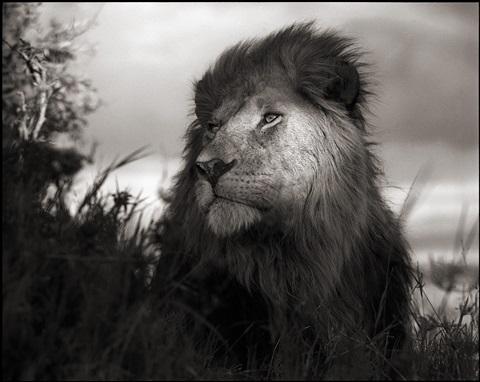 lion in shaft of light, maasai mara by nick brandt