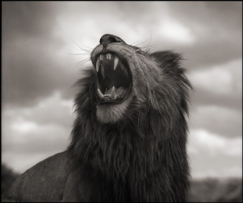 portrait of lion standing in wind, maasai mara by nick brandt