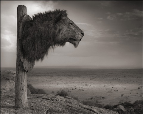 lion trophy, chyulu hills, kenya by nick brandt