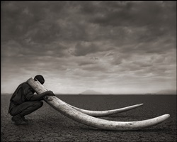 ranger with tusks of killed elephant, amboseli by nick brandt