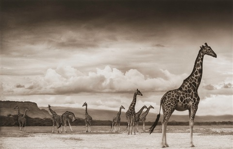 giraffes on lake bed nakuru by nick brandt