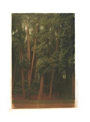 white cedars by ellen phelan