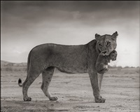 lioness holding cub in mouth, maasai mara by nick brandt