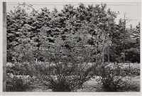 climbing rose vines, saratoga springs, new york by lee friedlander
