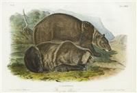 grizzly bear by john james audubon