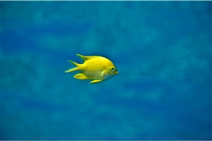 little yellow fish by christopher pulitzer leidy
