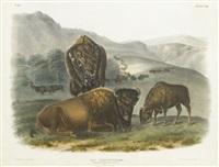 american bison or buffalo by john james audubon