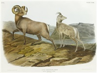 rocky mountain sheep by john james audubon