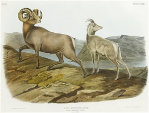 rocky mountain sheep by john james audubon