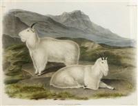 rocky mountain goat by john james audubon