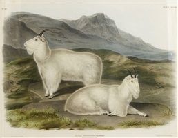 rocky mountain goat by john james audubon
