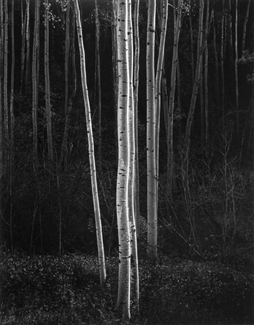 aspens northern new mexico vertical by ansel adams