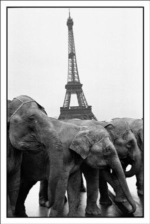 """france. paris. 16th arrondissement. place du trocadéro. elephant of the bouglione circus during the """"cavalcade des cirques"""", cavalcade of circus passing through the town. in the background : the eiffel tower. december, 1978. by guy le querrec"""