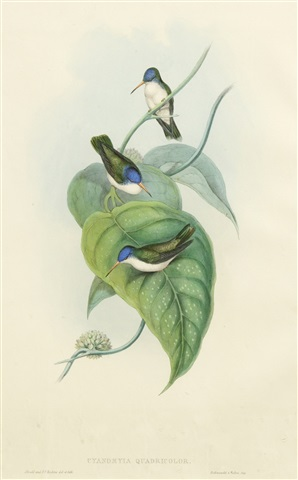 cyanomyia quadricolor (red-billed azure crown) by john gould