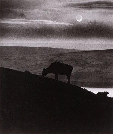 untitled cows on hillside by bill brandt