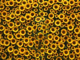 hide in the city n°113, sunflower #1 by liu bolin