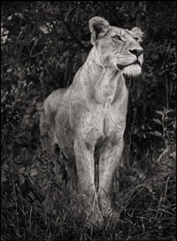 lioness against dark foliage, serengeti by nick brandt