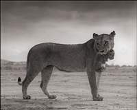 lioness with cub in mouth, amboseli by nick brandt