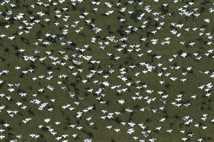 snow geese in flight with shadows by louis helbig