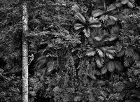 mentawai climbing a gigantic tree to collect durian fruit. siberut island. west sumatra. indonesia by sebastião salgado