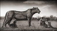 lioness with cub feeding, maasai mara by nick brandt