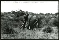 big tusker from behind, marsabit, kenya by peter beard