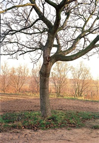 walnussbaum, willich-niederheide by simone nieweg