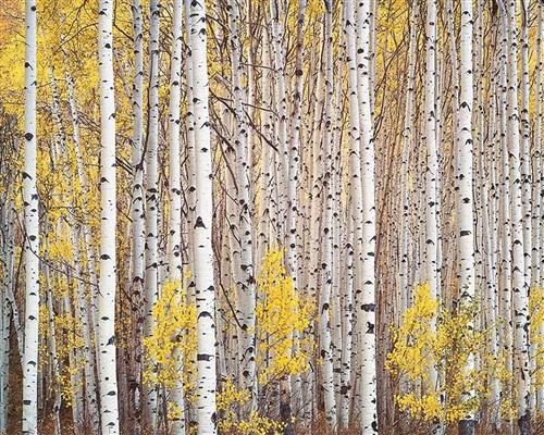 aspen grove, colorado by christopher burkett