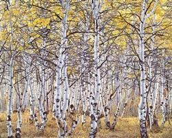 black mountain aspen forest, utah by christopher burkett