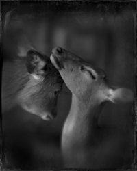 two deer study #2 by keith carter