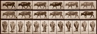 ox walking by eadweard muybridge