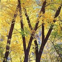 golden cottonwoods, colorado by christopher burkett