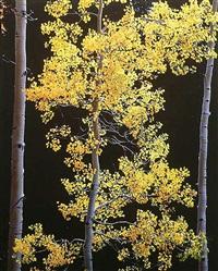 graceful aspen, colorado by christopher burkett