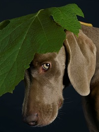 green beret by william wegman