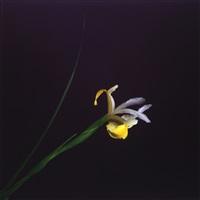 iris by robert mapplethorpe