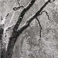 black oak, yosemite national park, ca by bob kolbrener