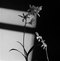 flower by robert mapplethorpe