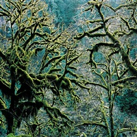 old growth coastal forest, oregon by christopher burkett