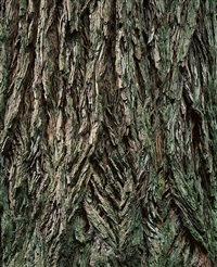 old growth redwood trunk, california by christopher burkett