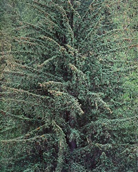 old growth sitka spruce, british columbia by christopher burkett