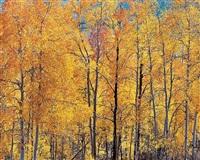 orange aspens and sunlight, utah by christopher burkett