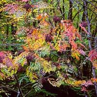 pastel aralia, north carolina by christopher burkett