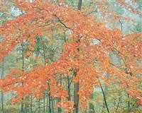 pastel orange maple, kentucky by christopher burkett