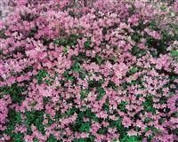 pink azalea, kentucky by christopher burkett
