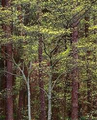 radiant yellow dogwood, kentucky by christopher burkett
