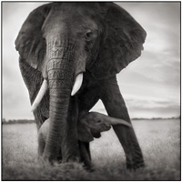 elephant and baby holding leg by nick brandt