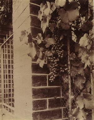 vigne (grape vine) by eugène atget